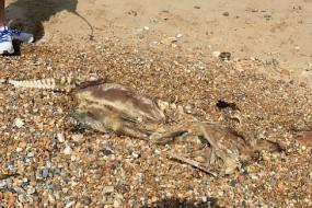 英海滩现不明生物腐尸 脊柱象人类身体似鳄鱼