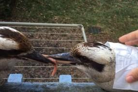 为一块肉两只小鸟嘴咬着嘴怒目相对数小时