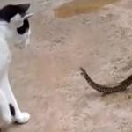 猫蛇大战对峙  蟾蜍坐收渔翁之利