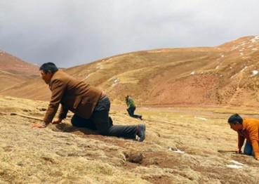 冬虫夏草丰收 牧民浩荡进山开挖