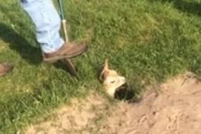 小羊驼陷坑里主人施救 羊驼妈妈一旁助威