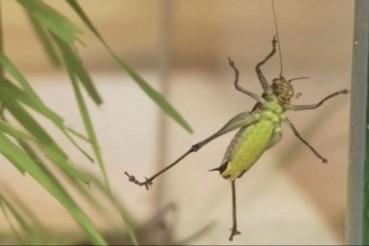 可食用昆虫批量生产 面包虫蚂蚱上餐桌