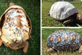 乌龟火灾壳被烧坏 通过3D打印换新马甲