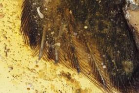 琥珀中发现鸟翅膀 人类首见古鸟类真容
