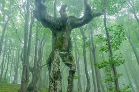 森林惊现人型大树 形似巨人