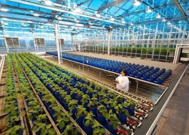 美国公司基因改造培育不凋谢的花
