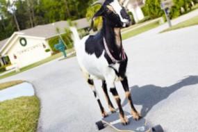 日本学校组织学生街头遛山羊 为加强与动物沟通