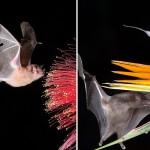 摄影师捕捉罕见蝙蝠采蜜画面