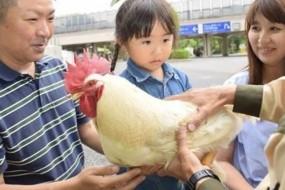 日本奇迹之鸡三度逃过被吃命运受游客膜拜