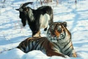 俄动物园虎羊友好真相原来如此