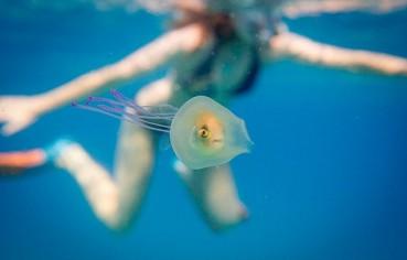 海底世界现神奇场景:小鱼隐身水母腹中
