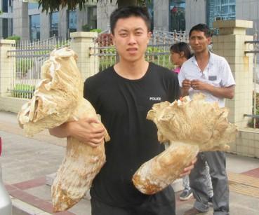 云南发现半人高巨型大蘑菇