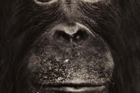 为何猿不会进化成人  因它们是人类表亲