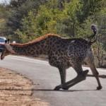 长颈鹿撒欢 乐极生悲摔个四脚朝天