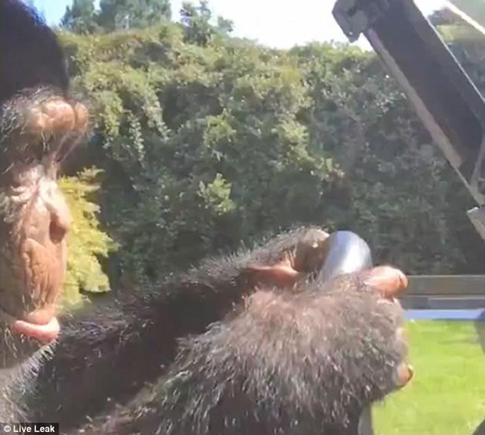黑猩猩气定神闲地驾驶高尔夫球车