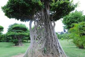 巨树树干镂空似蛛网仍屹立不倒