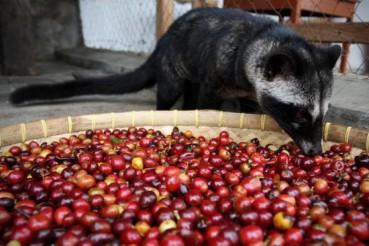 猫屎咖啡世界最贵 麝香猫却境遇悲惨