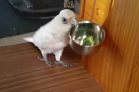 网红鹦鹉Eric痛恨花椰菜 爆粗口狂摔食盆