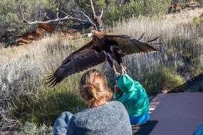 猎鹰俯冲突然袭击 男孩儿险些被掳走