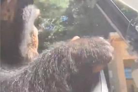 黑猩猩驾驶高尔夫球车  有板有眼令人啧啧称奇