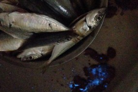 钓回海鱼剖开后肚里竟流出闪亮蓝眼泪