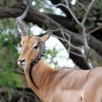 南非羚羊基因突变  生长方向一角朝天一角朝地