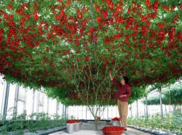 神奇的章鱼西红柿树  一棵树能结出32000个
