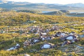 诡异!挪威高原三百只驯鹿瞬间被雷劈死