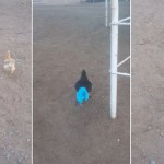 大黑公鸡穿蓝裤衩满场乱跑