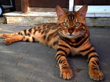 霸气猫咪浑身花纹象小老虎