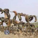 超恐怖!柬埔寨食人水蛭最长达两米