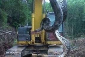 巴西发现超级巨蛇 直径1米体长10米