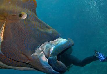 苏眉鱼海底大吞活人 如恐怖怪兽
