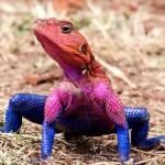 肯尼亚惊现红蓝两色蜘蛛侠蜥蜴