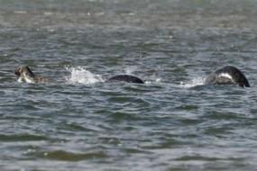 游人拍到史上最清晰尼斯湖水怪照片