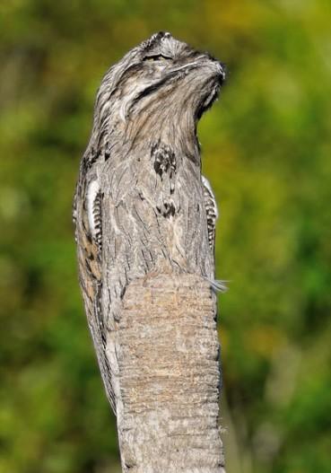 林鸱鸟伪装成枯树干 简直天衣无缝