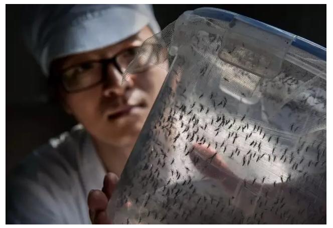 中国世界最大蚊子工厂 每周放出200万只雄蚊(组图)