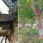 大树118年前被捕至今未释放