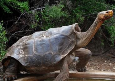 百年老龟超强繁殖力使象龟免于绝种