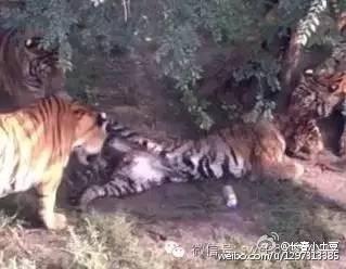 动物园东北虎打群架损失惨重