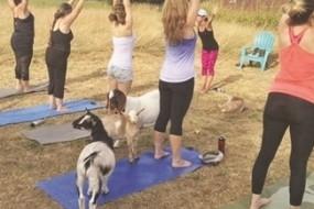 温顺山羊陪练瑜伽 高兴了还躺人身上