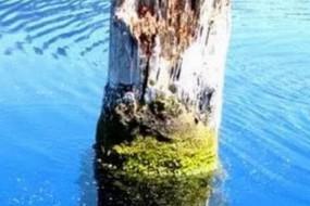 枯树桩直立漂浮湖里百年 游客慕名膜拜