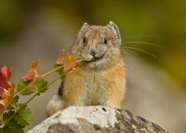 皮卡丘原型鼠兔正濒临灭绝
