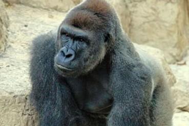 飓风马修中惊现被射杀大猩猩脸庞
