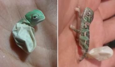 变色龙宝宝从壳里爬出瞬间变色
