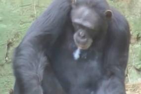 黑猩猩每天抽一盒烟 动作熟练如老烟枪