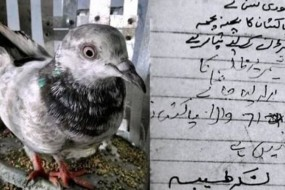 印度警方逮捕一只白鸽 怀疑它是间谍