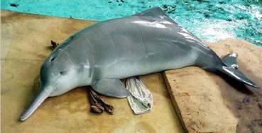 好消息!白鱀豚现身长江 9年前已被宣布功能性灭绝