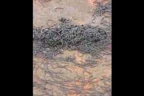 东海地震前大批蚯蚓爬出地面 场面惊人