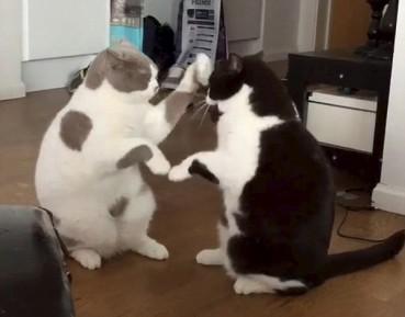 这家猫咪已成精 玩高兴了会击掌相庆